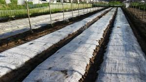 玉ねぎ苗用熱処理