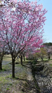 喜入農場_桜
