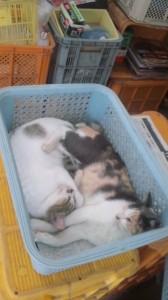 池田さんちの猫