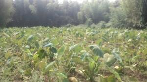 里芋の除草
