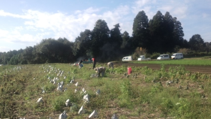 阿久根さんのかぼちゃ収穫