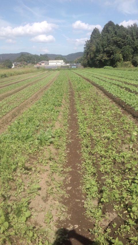 ほうれん草 左がエリナ、右ニューアンナ