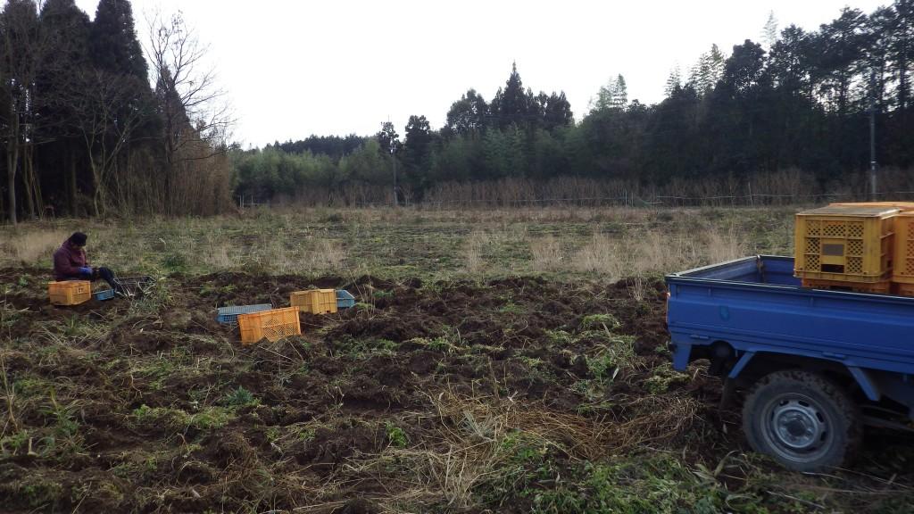16圃場 里芋収穫