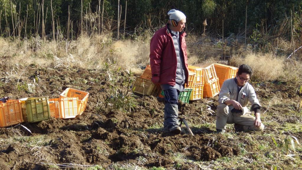16号里芋収穫